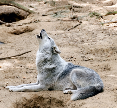 Gray wolf laying down on the ground howling  Stock Photo
