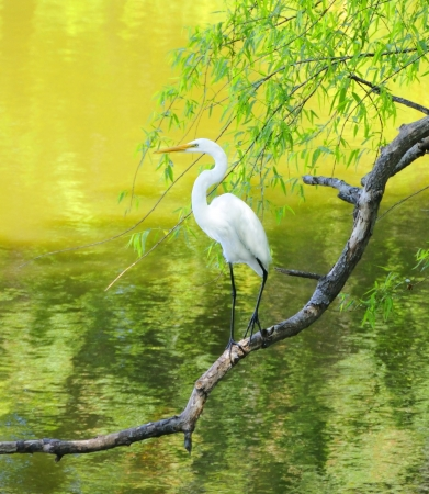 Great white egret perched on a limb at a lake