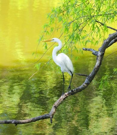 animal limb: Great white egret perched on a limb at a lake