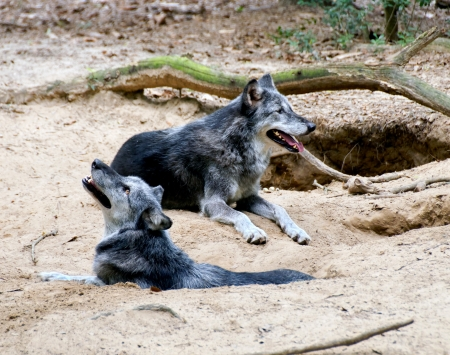 Two wolves laying in front of their den in the forest  Stock Photo