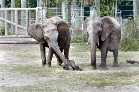 lowry: an African elephant, lovingly uses her trunk to help her baby Mpumi (born December 23, 2012) get up at the Lowry Park Zoo. Stock Photo