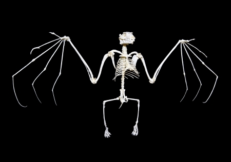 Skeleton of a fruit bat, often called flying fox, against a black background.