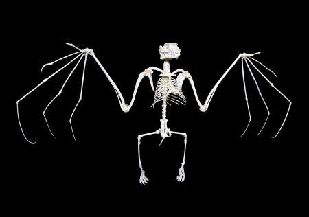 squelette: Squelette d'un chauve-souris frugivore, souvent appel� renard volant, sur un fond noir.