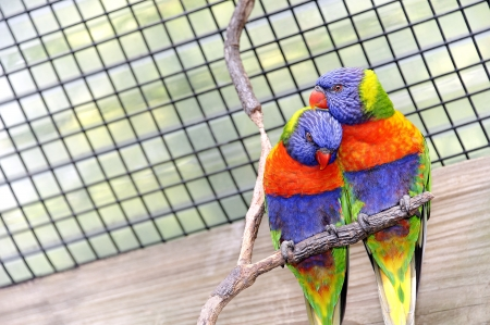 Two colorful romantic lorikeet birds in a cage. Stock Photo - 17997240