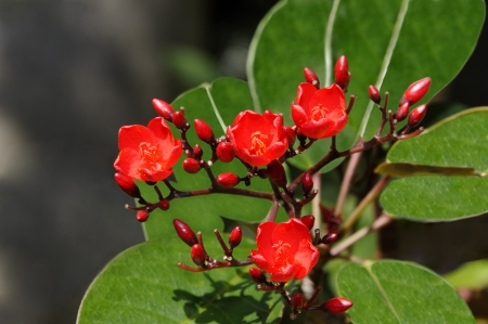 Peregrina flower, often called spicy jatropha, with large green leaves.