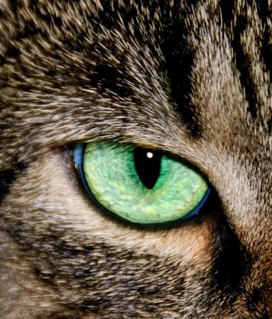 ojos verdes: Primer plano de los ojos de un gris del gato atigrado.