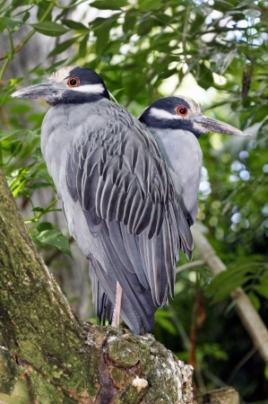 Pair of yellow crowned night heron wetland birds sharing a tree branch.