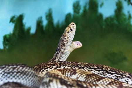 Non-venomous Florida pine snake with mouth wide open