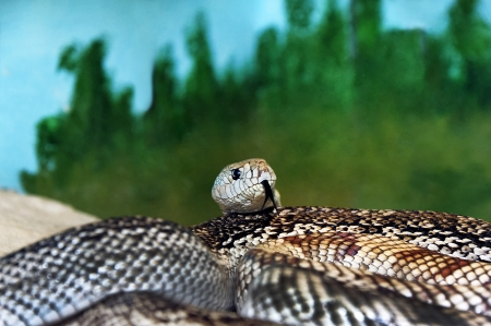 Florida pine snake with its head appearing over the top of a coiled body. Stock Photo
