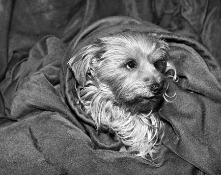 Yorkshire terrier dog with its head sticking out of a blanket.