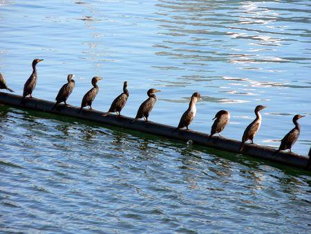 lining up: Birds lining up