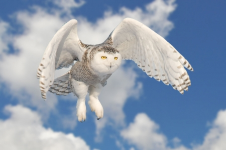 Snowy owl flying photo