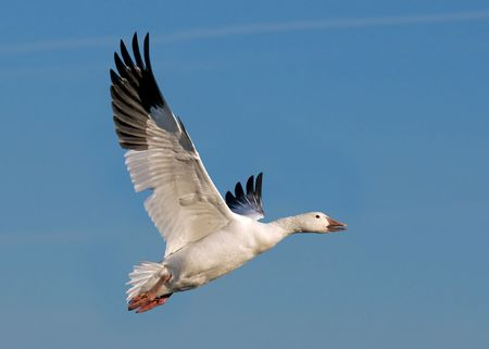flying geese: snow goose flying after taking off