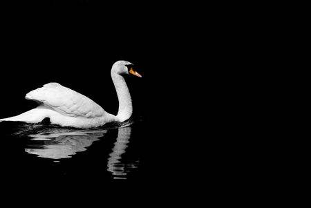 black swan: Image of a very white swan on a dark black lake Stock Photo