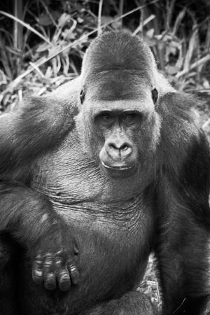 Monochrome treated image of a male sitting silver back gorilla photo