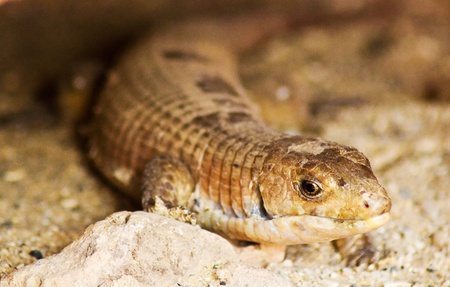 lizzard: Image of a sand lizzard laying under a rock in a dessert. Stock Photo
