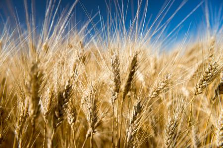 Wheat grains in a rural farmers field. Stok Fotoğraf
