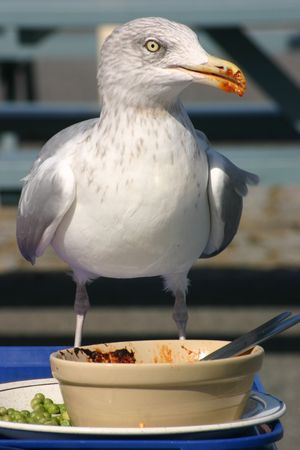 leftovers: A seagull helping himself to leftovers Stock Photo