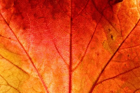 Close up of a red ivy leaf photo