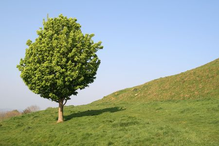 A small tree in an English field.