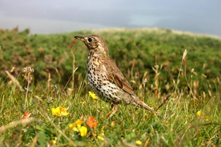 scilly: A song thrush, Isles of Scilly uk