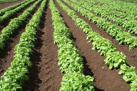 A field of green vegetable crops.