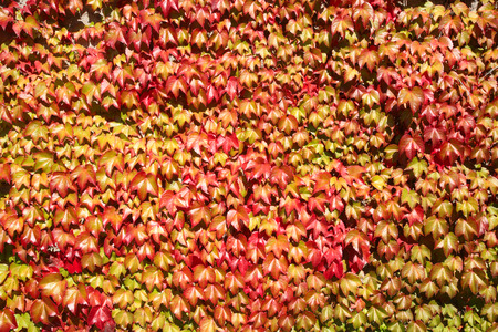 Colorful autumn leaves growing on a wall natural background. photo