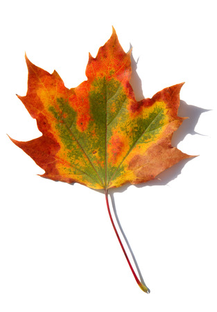 A multicolored fall leaf, isolated on a white background. photo