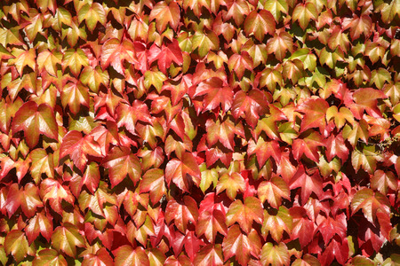 Close up of colorful autumn leaves growing on a wall. photo