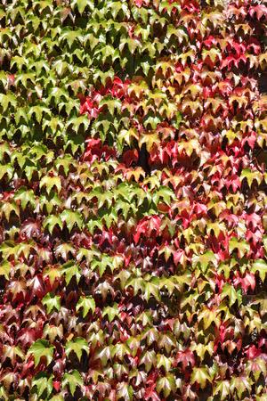 wall ivy: Cambio de color de pared ca�da de hojas de hiedra. Foto de archivo