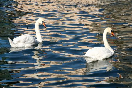 Two swans and colorful water reflections. photo
