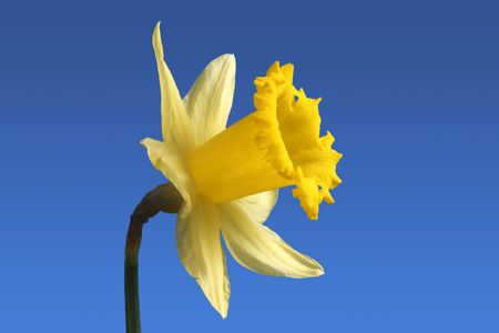 An English daffodil flower. photo