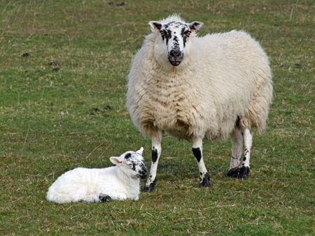 ovine: A sheep with its baby lamb.
