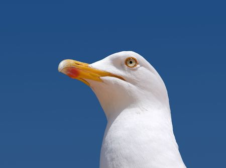 Close up of a seagull looking out to sea. photo