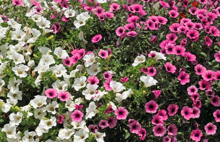 Lots of white and pink petunia flowers. photo