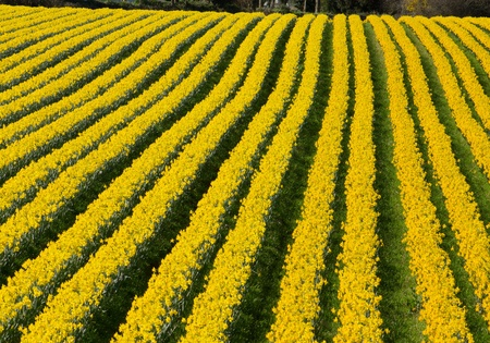 Rows of flowering yellow daffodil flowers in a field. photo