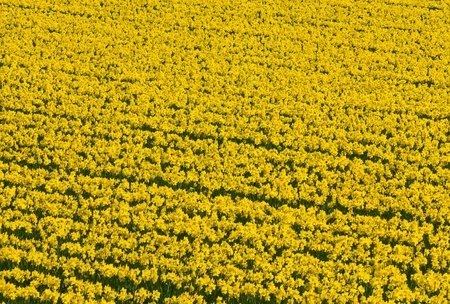 Thousands of yellow daffodils flowers in an English field. photo