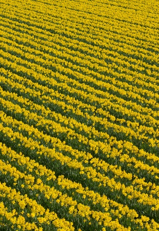 Lots of rows of yellow daffodil flowers in a field. photo