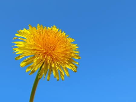 Yellow dandelion weed close up. photo