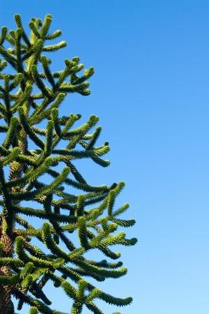 Monkey-puzzle Tree, Araucaria araucana and blue sky. photo