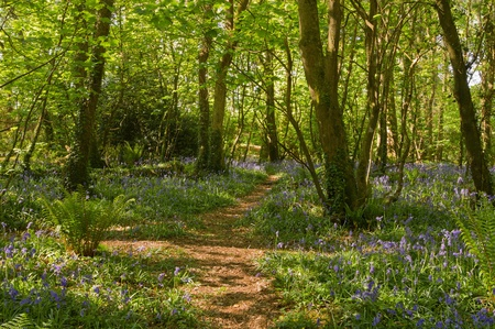 cornwall: Bluebells along a path in the woods, Tehidy Park Cornwall UK.
