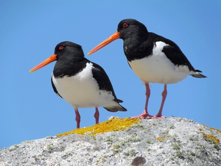 scilly: Two Eurasian Oystercatchers (Haematopus ostralegus), Isles of Scilly UK.