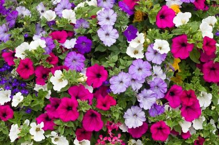 Colorful petunia flowers close up. photo