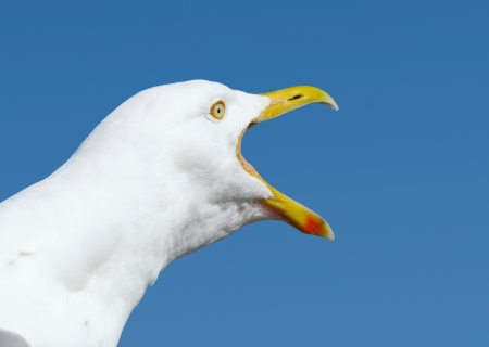 squawk: Angry squawking seagull with beak wide open.