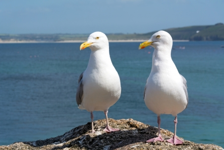 cornish: Two seagulls in St  Ives, Cornwall England