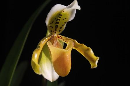 splendid: Splendid Paphiopedilum Slipper Orchid  Paphiopedilum insigne