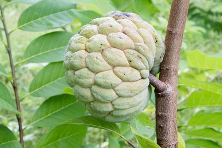 sharpness: custard apple on tree,sharpness on custard
