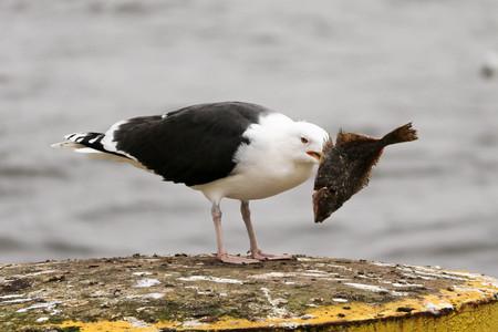 A seagull bird eating fish Stock Photo