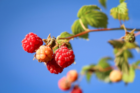 Raspberries ripening on a sunny day in summer