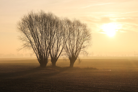 Three willow trees in a field at sunrise